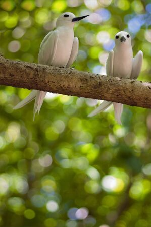 Amorous  pair of Fairy Terns: mates sat close together on a branch , Seychelles