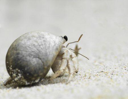 hermit: hermit crab crawling along a beach