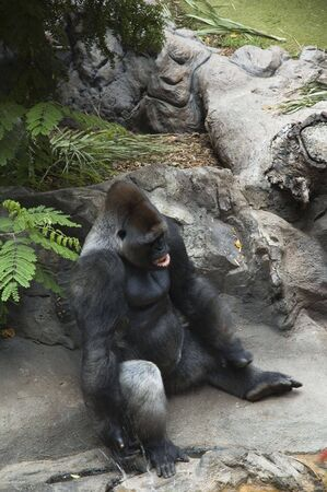 bared teeth: Adult silverback bared teeth gorilla splashing water from puddle