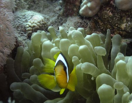 amphiprion bicinctus: Two-banded anemonefishes (Amphiprion bicinctus) among stinging sprouts of  host sea anemone