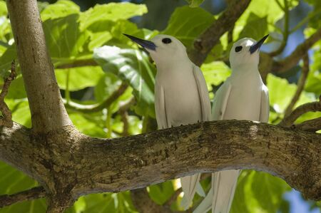 Fairy terns, Gygis alba, Seychelles  photo