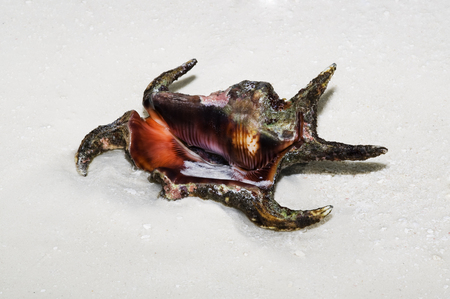 indopacific: spider shell lying on the  white  sandy beach Stock Photo