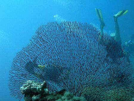 gorgonian: Sea fan and group scuba divers Stock Photo