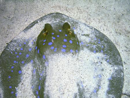 lymma: Taeniura lymma aka blue-spotted fantail ray