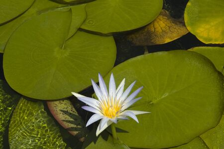 egyptian lily: Nymphaea caerulea also known as Egyptian blue lily or sacred blue lily