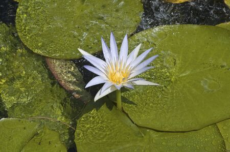 egyptian lily: Nymphaea caerulea, also known as the Egyptian blue lily or sacred blue lily