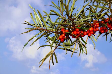 european rowan: European Rowan fruit, Sorbus aucuparia, against sky background Stock Photo