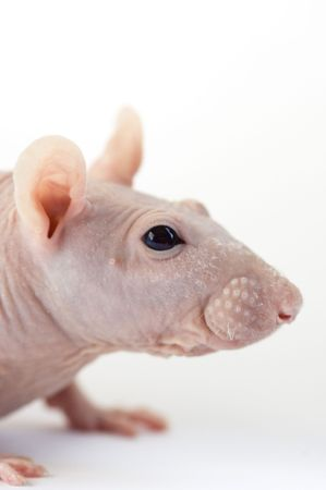 Sphinx hairless rat head close-up against white background  Stock Photo - 1798050