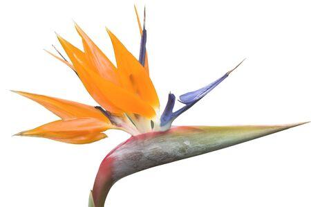 nectar: Image of Strelitzia reginae flower isolated against white background Stock Photo