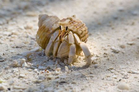 conceal: Close up image of Common hermit crab crawling through tropical white sandy beach  Stock Photo
