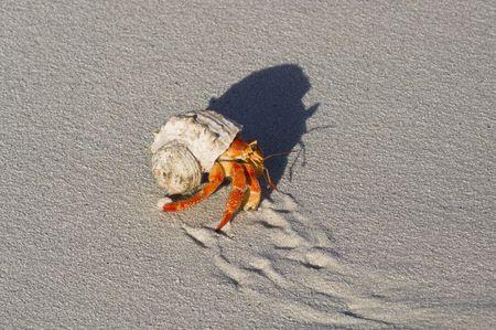 crabs: Hermit crabs (Coenobita sp.)  Common for Indo-Pasific region