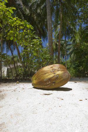 Large coconut on sandy tropical beach Stock Photo - 3090864