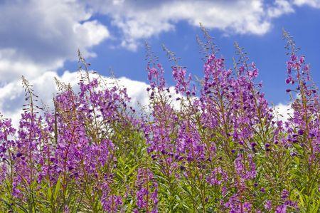 Field overgrown with pigweed flowers (Epilobium angustifolium) photo