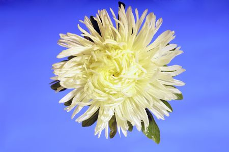Yellow Chrysanthemum bloom  in front of blue background photo