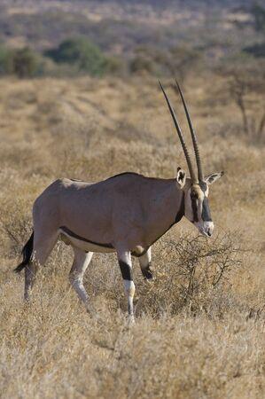samburu: oryx antelope at Samburu National Park, Kenya