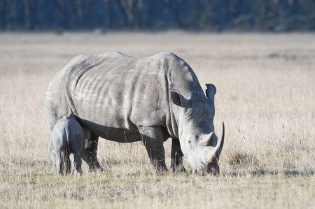 nakuru: White Rhino with calf at Lake Nakuru Natural Park Stock Photo