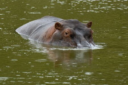 emergent: Hippopotamus in semisubmerged position at Masai Mara Natural Reserve, Kenya Stock Photo