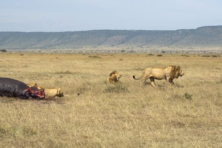 surfeit: Llioness (Pathera leo) enjoying fresh hippo meat while  two male lions  retired