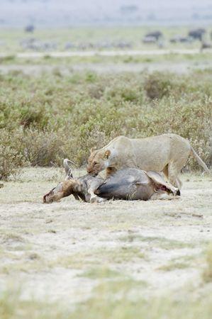 Lioness (Pathera leo nubica) feeding on wildebeest kill in Amboseli National Park, Kenya photo