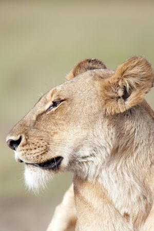 Portrait of lioness Panthera Leo  in   Masai Mara National Park, Kenya Stock Photo - 4277480