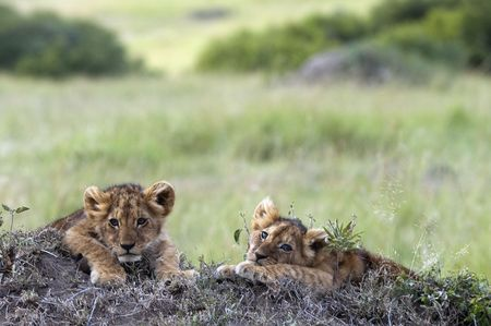 Handsome little lion cubs  resting on the top of termite mound in the savannah of Maasai Mara Natural reserve, Kenya, Africa Stock Photo - 4277486