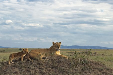 Lioness with two three month old cubs resting on top of termite mound in  Masai Mara National Park, Kenya Stock Photo - 4277483