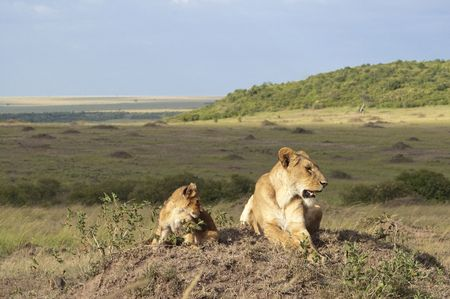Lioness with  three month old cub resting on top of termite mound in  Masai Mara National Park, Kenya Stock Photo - 4277490