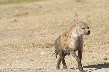 hienas: Hiena iby cubiertos de barro se ejecutan en la sabana en la Reserva Nacional de Amboseli, Kenia