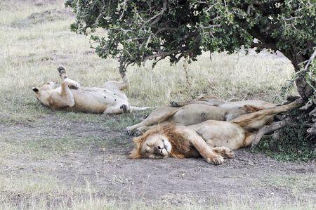 African lions pride (Panthera Leo) enjoying shadow under tree  in Masaio Mara National Park, Kenya, East Africa photo
