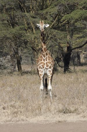 camelopardalis reticulata: Somali Giraffe ( Giraffa Camelopardalis reticulata )  in Nakuru Lake  National Reserve, Kenya, East Africa Stock Photo