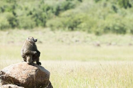adult kenya: Thoughtful Male  adult baboon sitting on rock in Masai Mara National reserve, Kenya Stock Photo