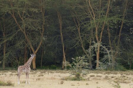 lake naivasha: Masai Giraffe ( Giraffa Camelopardalis tippelskirch i) on the edge of forest  in Naivasha  Lake  National Reserve, Kenya, East Africa Stock Photo