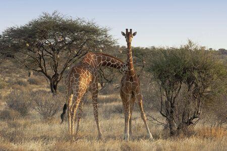 giraffa camelopardalis reticulata: Pair of Reticulated or Somali  Giraffes ( Giraffa Camelopardalis reticulata)  in Samburu  National Reserve, Kenya, East Africa