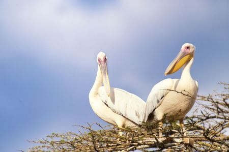 Two Pelicans  (Pelecanus Onocrotalus) sitting on top of tree photo