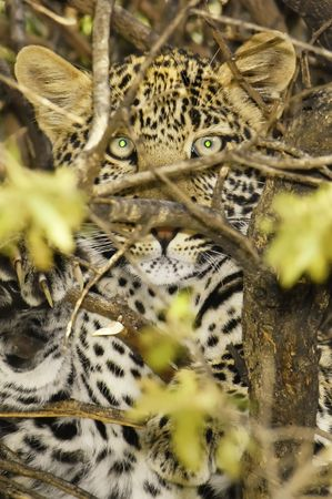 Young african leopard (Panthera Pardus Pardus) resting on a tree branch in Masai Mara  National Park, Kenya, East Africa photo
