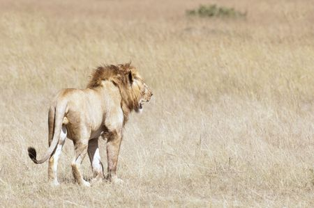 Male  adult African lion  (Panthera Leo)  in grasses of  Masai  Mara National Park, Kenya, East Africa
