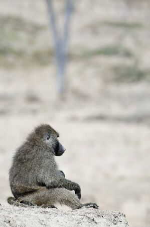 adult kenya: Thoughtful Male  adult baboon sitting on top of hill  in Masai Mara National reserve, Kenya Stock Photo