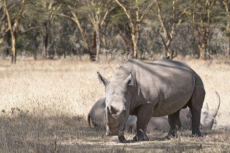 nakuru: Square-lipped Rhinoceroses  in Nakuru Lake National  Park, Kenya, East Africa