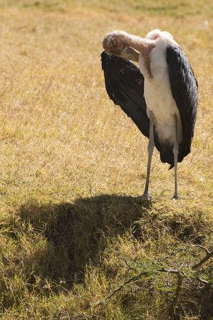 Marabou stork  (Leptoptilos crumeniferus) photo