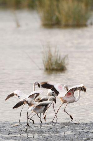 flamingoes gathering speed to take off ,   Nakuru Lake National Park, Kenya photo