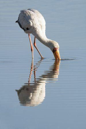 Yellow billed stork  (Mycteria Ibis) feeding in  lake  photo