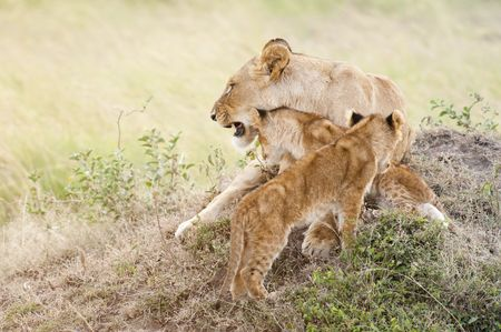 African lions  (Panthera Leo)  in Masai Mara National Park, Kenya, East Africa