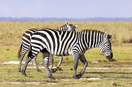 burchell: Pair of Common Zebras walk in savannah short grass ,  Amboseli National Reserve, Kenya, East Africa