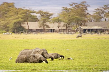 wade: Group of  african elephants wade in  swamp close to village while feeding fresh grass , Amboseli  National Reserve, Kenya