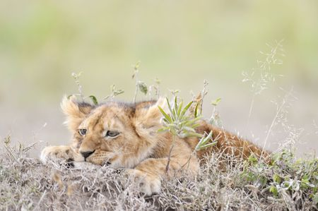 lamentable: Cub of african lion  (Panthera Leo)  in Masai Mara National Park, Kenya, East Africa