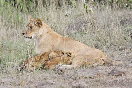 suckle: African lioness ( Panthera Leo) with her cubs