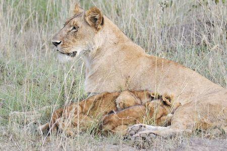 Lion cubs feeding in Masai Mara National Park, Kenya photo