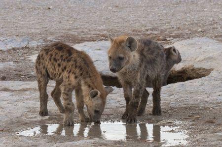 hienas: Manchado cachorros de hiena (crocuta crocuta) bebiendo agua de lluvia de charco, reserva nacional de Amboseli, Kenia, África oriental
