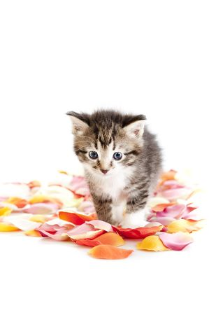 kitten walk through flower petals isolated against white background, front view Stock Photo - 6109679