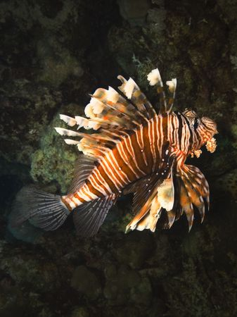 turkeyfish: Red lionfish, Pterois volitans, underwater at 15 metres,  Marsa Alam, Egypt Stock Photo